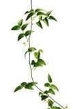 zielony winorośli Zdjęcie Royalty Free