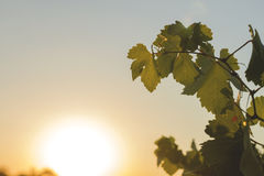 zielony winorośli Zdjęcia Royalty Free