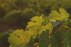zielony winorośli Obrazy Royalty Free