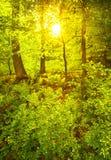 Zielony wiosna las w słońce promieniach Obraz Royalty Free