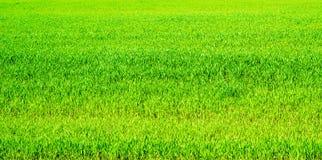 Zielony wiosny banatki trawy łąki tło fotografia royalty free