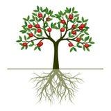 Zielony wiosny drzewo z Korzeniowymi i czerwonymi jabłczanymi owoc Wektorowy illustr Obraz Stock