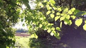 Zielony wiosny ulistnienie młoda osika w wiatrze zbiory wideo