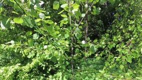 Zielony wiosny ulistnienie młoda osika w wiatrze zbiory