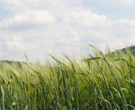 zielony żyto Fotografia Stock