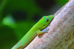 Zielony złocistego pyłu dnia gekon, Akaka Spada stanu park, Duża wyspa, Hawaje obrazy stock