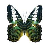 Zielony złoty ptaka skrzydła krążownika motyl obraz royalty free