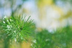 Zielony złudzenie - Conifer drzewa liście zdjęcie royalty free