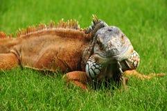 zielony zamknięta zielona iguana Obrazy Stock