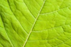 zielony zamknięty zielony liść Zdjęcie Stock