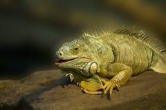 zielony zamknięta zielona iguana Fotografia Stock