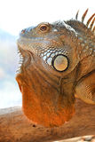 zielony zamknięta zielona iguana Zdjęcia Stock