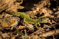 zielony zamknięta zielona jaszczurka Obraz Royalty Free