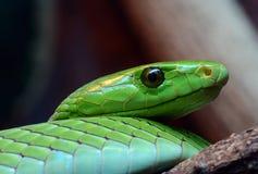 zielony zamknięty wschodni zielony mamba Zdjęcie Royalty Free