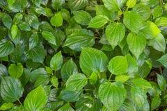 Zielony Zielarski betlu liścia krzak lub dudziarz jesteśmy liściem winograd należymy Obrazy Royalty Free