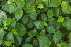Zielony Zielarski betlu liścia krzak lub dudziarz jesteśmy liściem winograd należymy Obrazy Stock