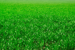 zielony zioła Obrazy Royalty Free