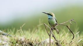 Zielony zjadacz w Pottuvil, Sri Lanka, specie Merops orientalis w Arugam zatoki lagunie zdjęcie royalty free
