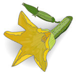 Zielony zucchini wektor ilustracja wektor