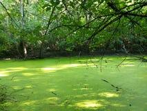 Zielonych alg szumowiny skóry staw zdjęcie royalty free