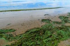 Zielonych alg zanieczyszczenie na banku rzeka Obrazy Royalty Free
