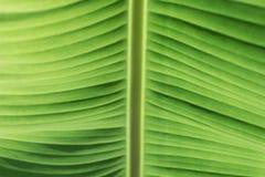 Zielonych bananowych liści zamknięty up zdjęcie stock