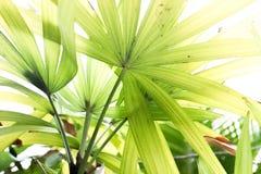 Zielonych fan palmy liści zamknięty up fotografia stock