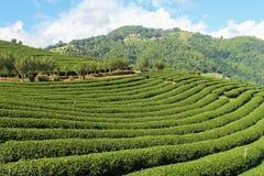 Zielonych herbat plantacje zdjęcie stock