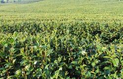 Zielonych herbat plantacje zdjęcia stock