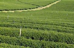 Zielonych herbat plantacje obrazy royalty free
