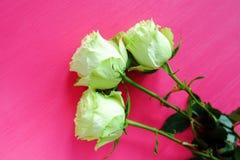 Zielonych herbat róże na jaskrawym różowym tle zdjęcie royalty free