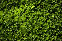 Zielonych koniczyn kolorowy tło, świątobliwy patric ` s dzień Obrazy Royalty Free