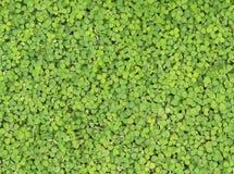 Zielonych krzaków liści ścienny tło Fotografia Stock