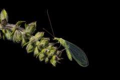 Zielonych lacewings insekt na wierzchołku lina ratownicza Fotografia Royalty Free
