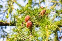 Zielonych lin choinki Fotografia Royalty Free
