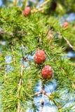 Zielonych lin choinki Obraz Stock