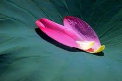Zielonych lotosowych liści różowi płatki Zdjęcie Stock