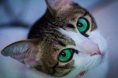 Zielonych oczu kot patrzeje dla coś Zdjęcia Stock