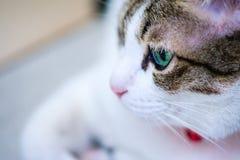 Zielonych oczu kot patrzeje dla coś Obrazy Stock