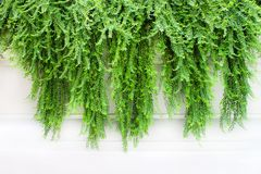 Zielonych rośliien bluszcz na białym tle, natury wspinaczkowy winograd wzory fotografia stock