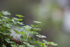 Zielonych rośliien koniczyny na garnku z kropelkami i raindrops Zdjęcia Stock