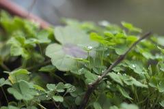 Zielonych rośliien koniczyny na garnku z kropelkami i raindrops na deszczowym dniu Fotografia Stock