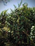 Zielonych rośliien owoc Zdjęcia Stock