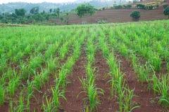 Zielonych upraw dorośnięcia rainfed góra Fotografia Stock