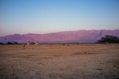 Ziemi Święta serie - Yotvata baru rezerwat przyrody Obraz Royalty Free