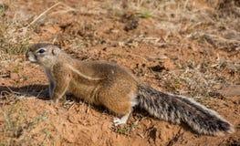 ziemi afrykańska wiewiórka Obraz Stock