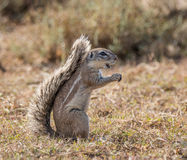 ziemi afrykańska wiewiórka Obrazy Stock