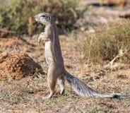 ziemi afrykańska wiewiórka Zdjęcia Royalty Free