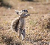 ziemi afrykańska wiewiórka Zdjęcie Stock