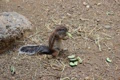 ziemi afrykańska wiewiórka Obraz Royalty Free
